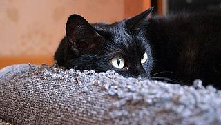 Kan je met een verdamper het gedrag van katten aanpassen?