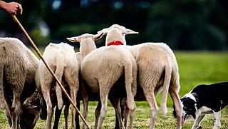 'Infecties en ziektes verkorten dierenlevens in veehouderij'