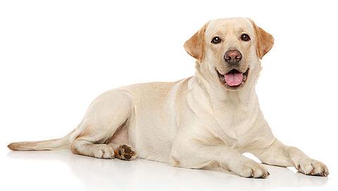 Honden kunnen darmkanker vroegtijdig ontdekken