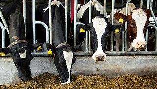 '35% van melkkoeien komt nooit buiten'