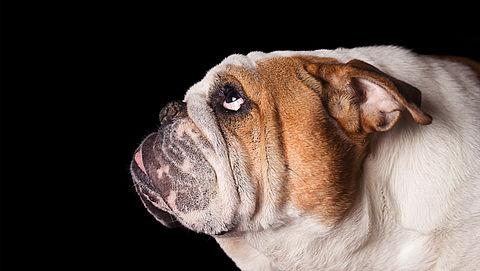 Handhaving fokken van honden met korte snuiten