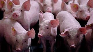 Vlees mishandelde varkens in Nederlandse slagerijen