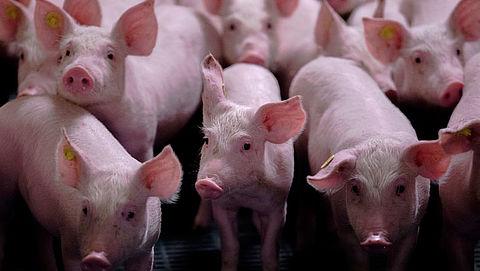 Vlees mishandelde varkens in Nederlandse slagerijen}