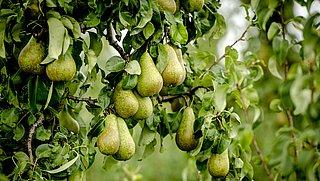 Vijf perenbomen in ruil voor een oude, vervuilende koelkast