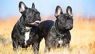 Binnen zes maanden nieuw besluit over overtredingen bij fok Franse bulldogs