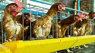 Europees burgerinitiatief tegen gebruik kooien in landbouw