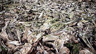 'Biomassa is vervuilender dan steenkool'