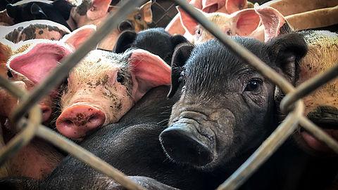 Miljarden aan Nederlands spaargeld gebruikt voor financiering dierenleed