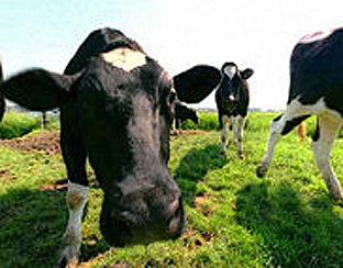 Crowdbutching: samen een koe kopen en eten