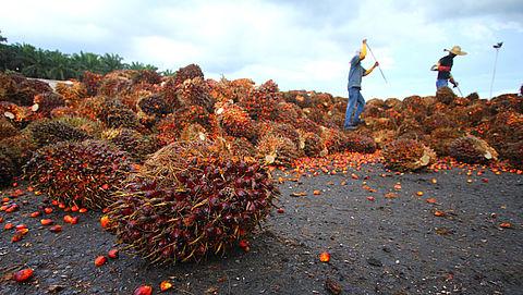 ABN AMRO, ING en Rabobank betrokken bij misstanden in de palmoliesector}