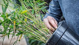 Hoe kom je van woekerende bamboeplant af?