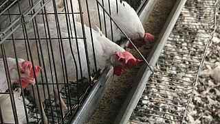 Kippenleed bij Belgische eierproducent Pyfferoen