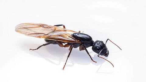 Vliegende mieren: waar komen ze vandaan en wat kun je doen?}