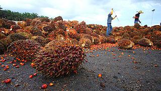 Waarom zit overal palmolie in?