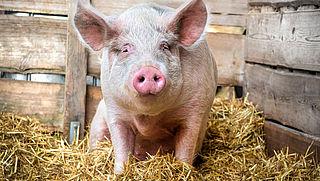 'Productie van parmaham gaat gepaard met veel dierenleed'