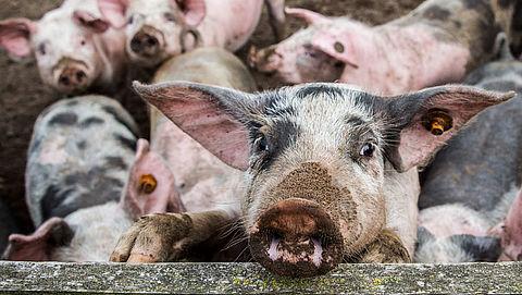 Varkens nog steeds levend gekookt in slachthuizen