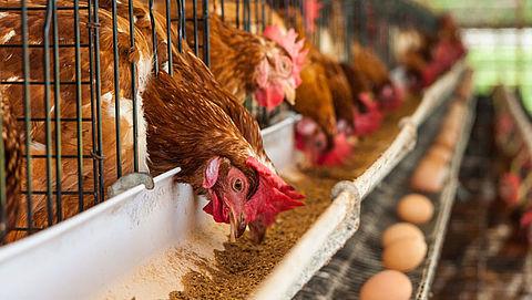 'Supermarkten maken extra winst door ophokplicht kippen'