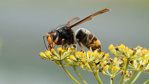 Roep om campagne voor snellere herkenning Aziatische hoornaar}
