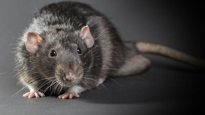 Chemisch rattengif nog steeds veel gebruikt
