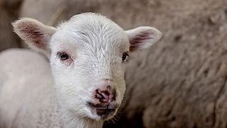 21.000 minder dieren geslacht voor Offerfeest