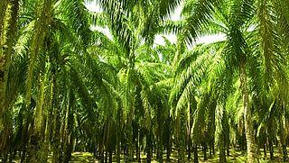 'Nederland aan kop met gebruik duurzame palmolie'