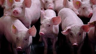 Petitie: controle varkensbedrijven moet beter
