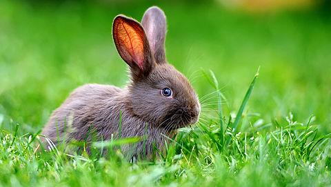 Geen konijnenvlees meer bij Dirk en Dekamarkt