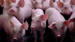 'Miljoenen varkens in vee-industrie hebben maagproblemen'