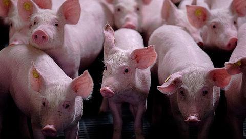 'Miljoenen varkens in vee-industrie hebben maagproblemen'}