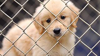 'Nederland moet regels illegale puppyhandel aanscherpen'