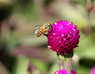Intratuin bant bijengif