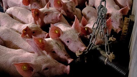 Dierenrechtenorganisaties in actie vanwege 'afgrijselijke condities' varkensstallen
