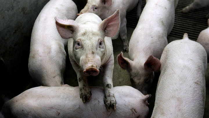 'Misstanden varkensfokkerij normale gang van zaken'