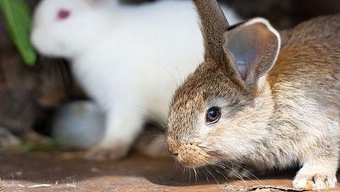 Europees Parlement wil minder dierenleed bij konijnenhouderijen}