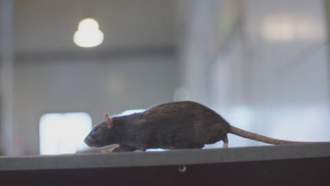 Het opkomende rattenprobleem in Nederland