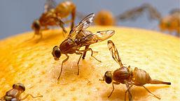 Pas op voor gevaarlijke exotische fruitvliegjes: zo kom je ervan af