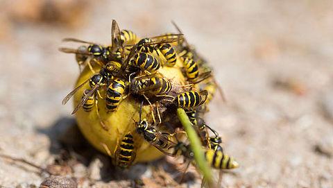 Goed najaar voor wespen