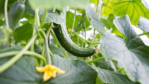 Geen kromme komkommers in supermarkt: waarom niet?}