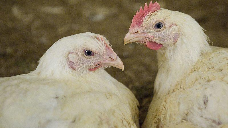 Meer duurzame kip in de winkels, maar nog lang niet genoeg