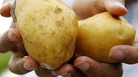 Telers spuiten koper op bio-aardappelen}