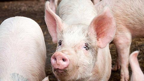 Kamer wil verbod op couperen varkensstaarten}