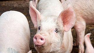 Kamer wil verbod op couperen varkensstaarten