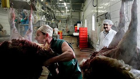 Strengere regels voor slachten drachtige koeien