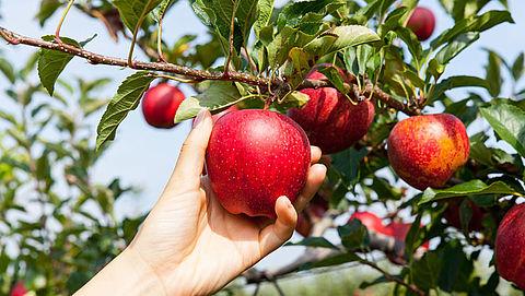 Recordhoge prijzen voor appels door kleine oogst