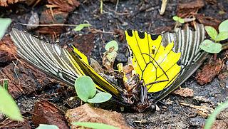 Bij en vlinder worden schaars