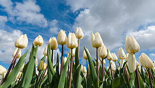 'Kopers van tulpenbollen Bloemenmarkt worden misleid'