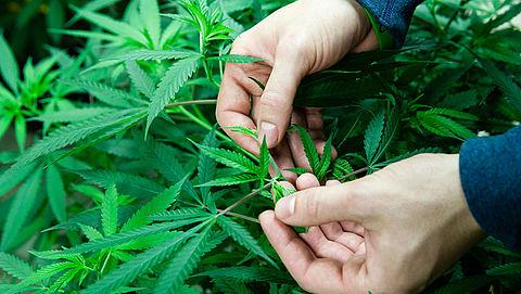 Producten met medische marihuana in drogisterijen zijn illegaal}