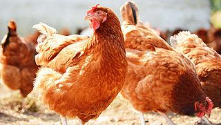 Wakker Dier: 'Geef kippen pijnstillers'