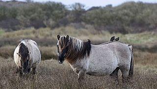 Paardenvlees van konikpaarden uit de Oostvaardersplassen eten? 77 procent zou het doen