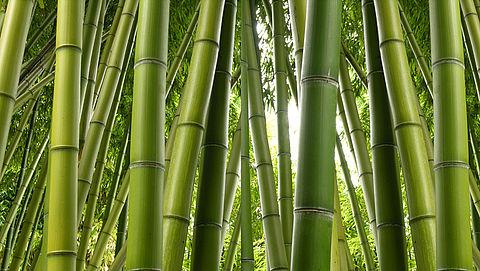 Zaterdag in Radar Radio: Hoe kom je van woekerende bamboeplant af?